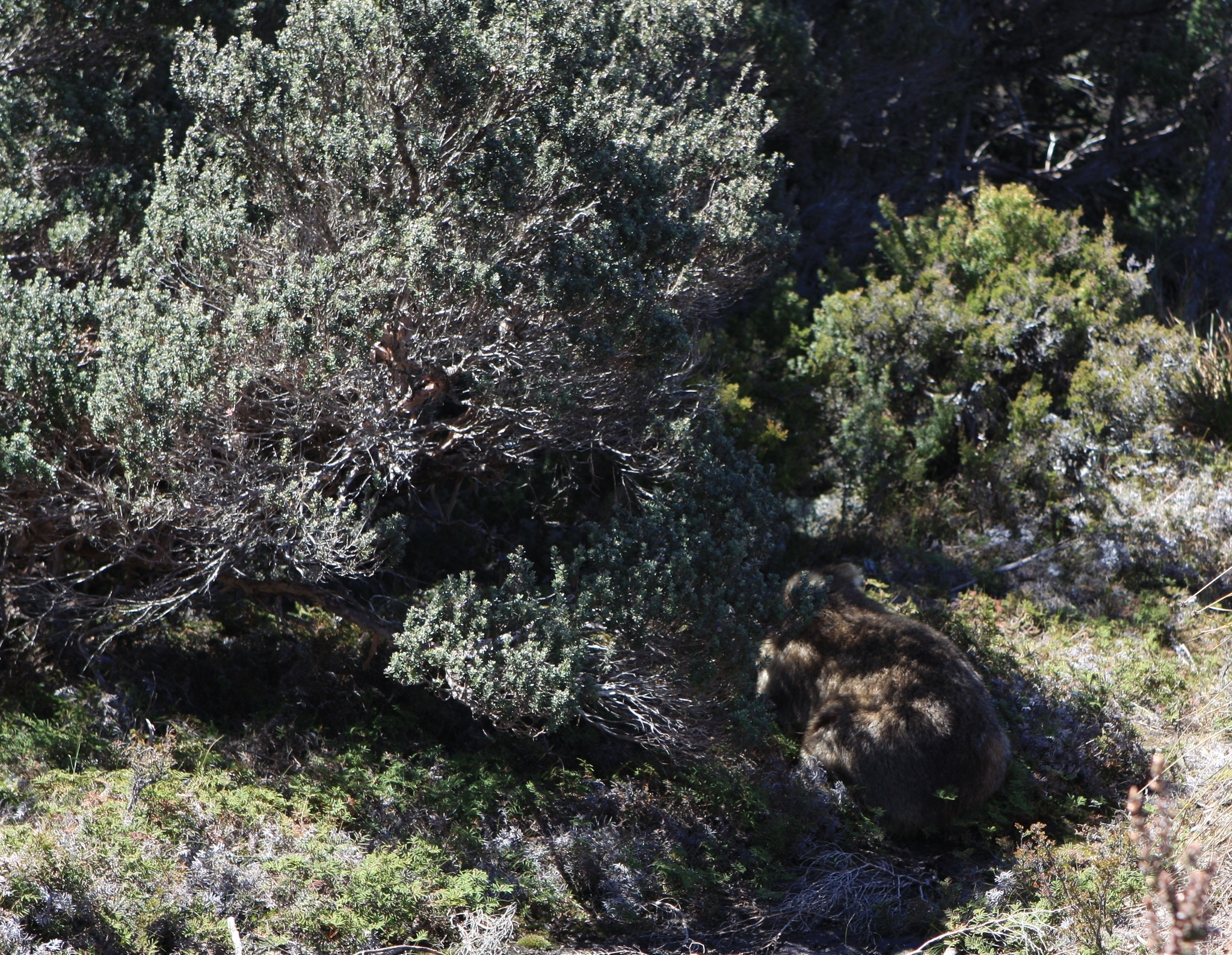 Image of Coarse-haired Wombat