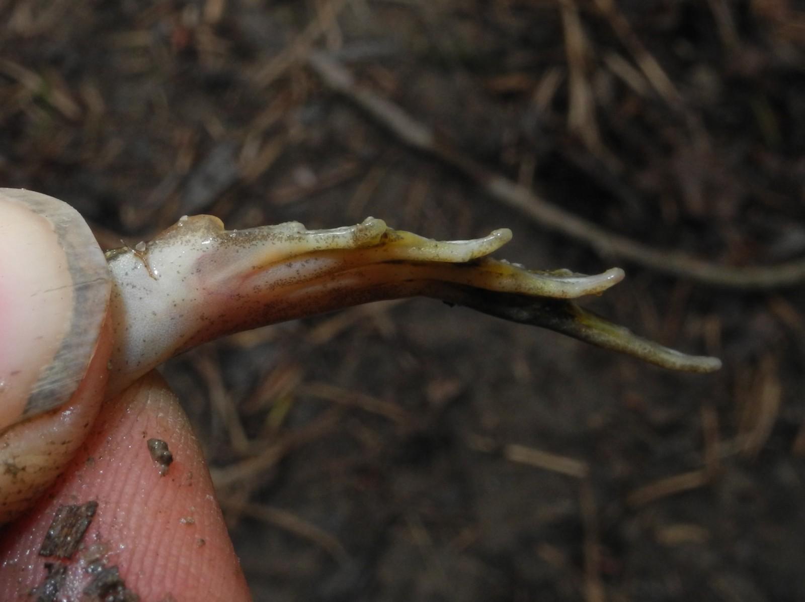 Image of <i>Pelophylax esculentus</i>