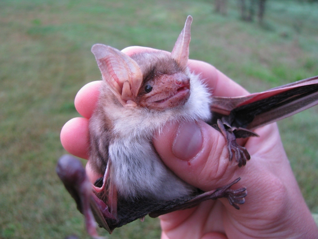 Greater Mouse-eared Bat - Encyclopedia of Life