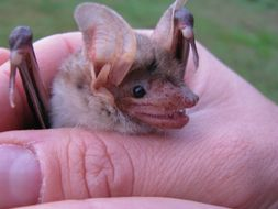 Image of Mouse-eared bat