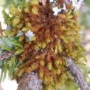 Image of <i>Ulota phyllantha</i>