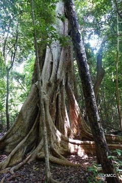 Image of <i>Ficus polita</i>