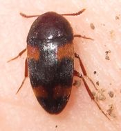 Image of <i>Holostrophus bifasciatus</i> (Say 1824)