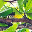 Image of Spectacled Thrush