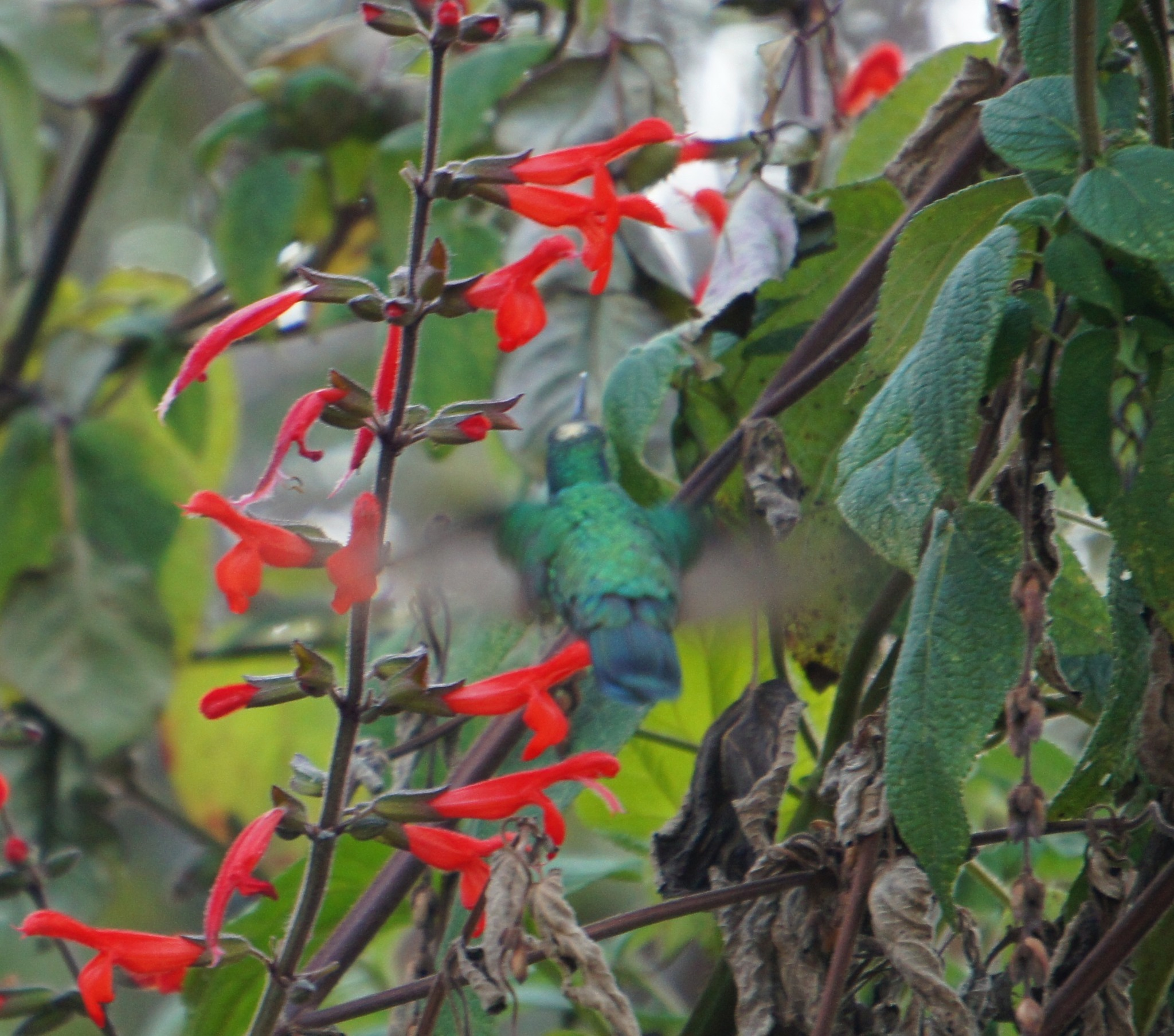 Image of Mexican Violetear