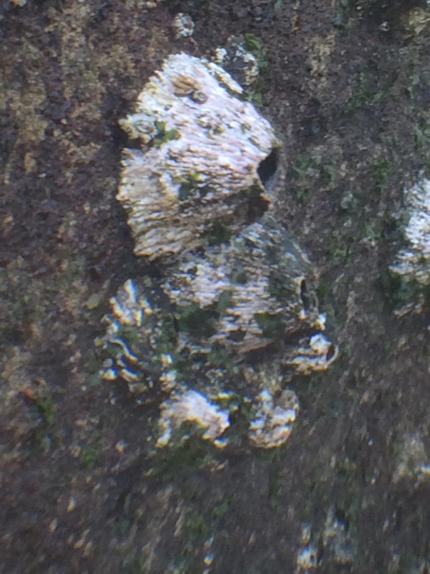 Image of <i>Tetraclita squamosa</i>