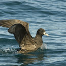 Image of White-chinned Petrel