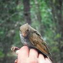Image of Orange-billed Nightingale-Thrush