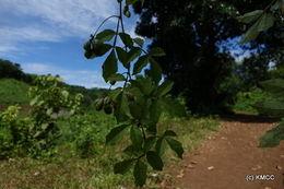 Image of <i>Paullinia pinnata</i>