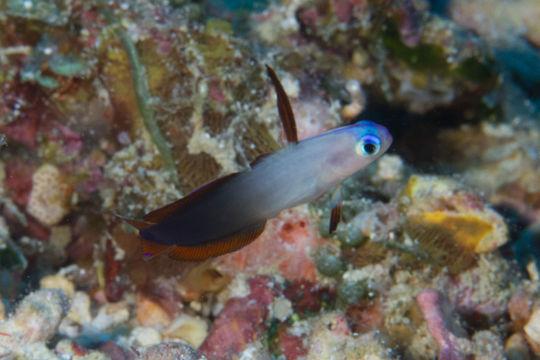 Image of Elegant firefish