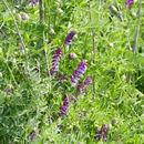Image of <i>Vicia villosa</i>