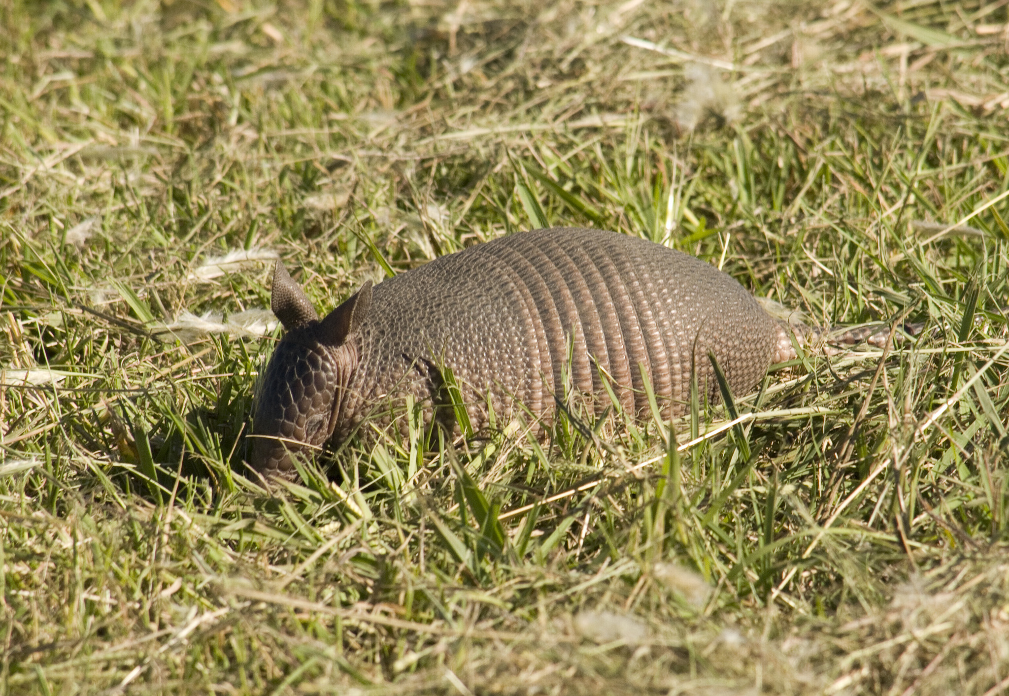 Image of Southern Long-Nosed Armadillo