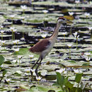 Image of Bronze-winged Jacana