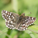 Image of Two-banded Checkered Skipper