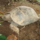 Image of Asian Giant Tortoise