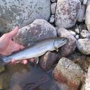 Image of Bull Trout