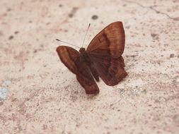 Image of <i>Abisara echerius</i>