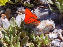 Image of <i>Lycaena cupreus</i>