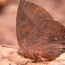Image of <i>Amblypodia anita</i> Hewitson 1862