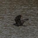 Image of Bat Hawk
