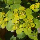 Image of <i>Chrysosplenium alternifolium</i>