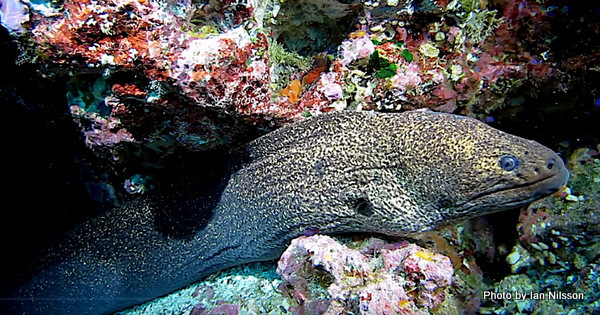 Image of Griffin's moray