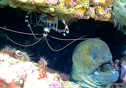Image of Banded Coral Shrimp