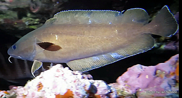 Image of rock cod