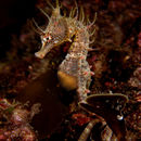 Image of Knobby Seahorse