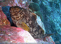 Image of Notch-head marblefish
