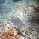 Image of great hogfish