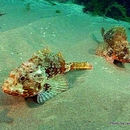 Image of Chained scorpionfish