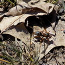 Image of Northern Paper Wasp
