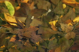 Image of Eastern Mosquitofish