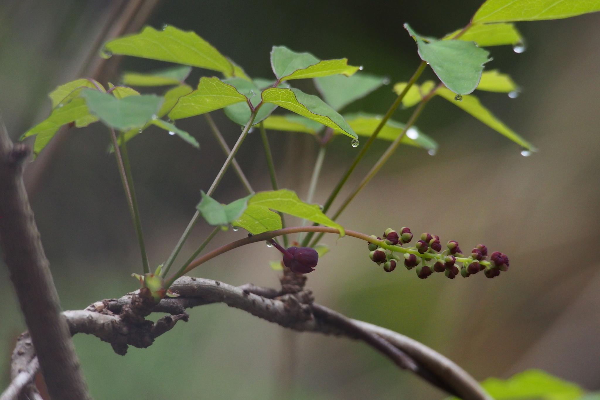 Image of <i>Akebia trifoliata</i>