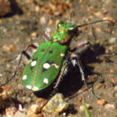 Image of Green tiger beetle