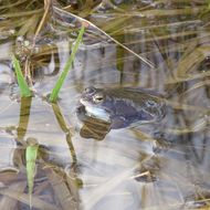 Image of Altai Brown Frog (Altai Mountains Populations)