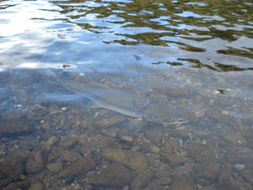 Image of Pink salmon
