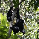 Image of Siamang