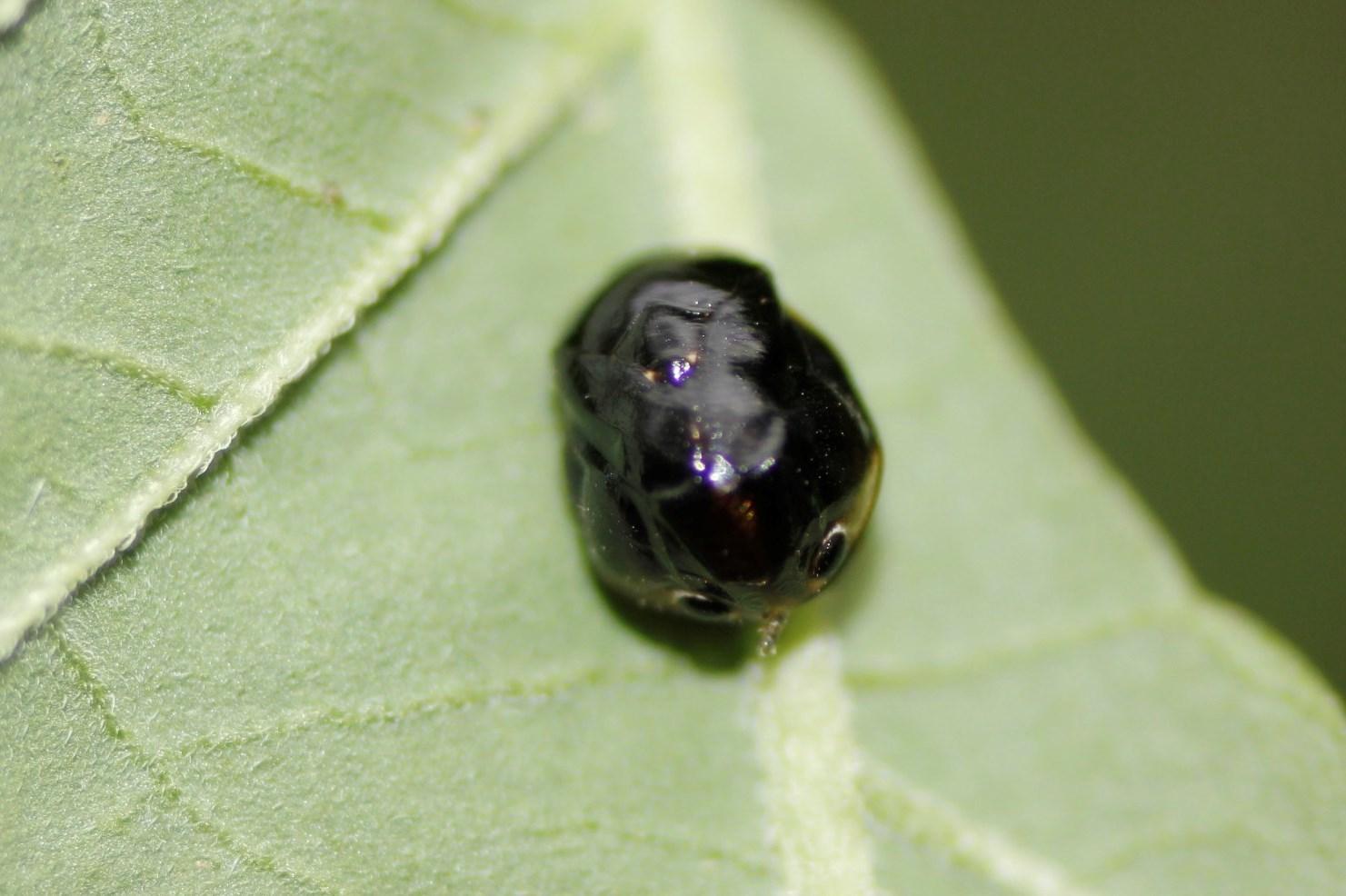 Image of Sunflower Spittlebug