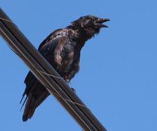 Image of Fish Crow