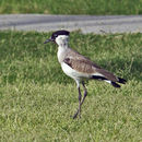 Image of River Lapwing
