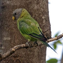 Image of Plum-headed Parakeet