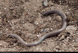 Image of Baja California Legless Lizard