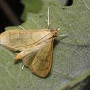 Image of The Alamo Moth