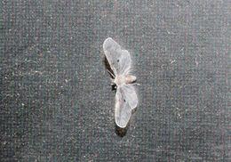 Image of <i>Dysimia pseudomaculata</i> Broomfield 1985