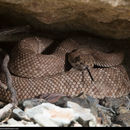 Image of Red Diamond Rattlesnake (exsul