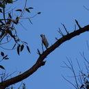 Image of Lesser Sulphur-crested Cockatoo