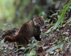 Image of Little Coati