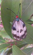 Image of <i>Chalcosia pectinicornis</i> Linnaeus 1758
